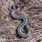 Волынь атакуют змеи